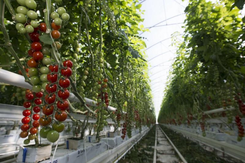 tomates-luis-andujar-almeria