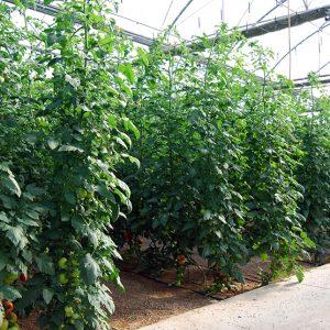 Cultivo tomate invernadero